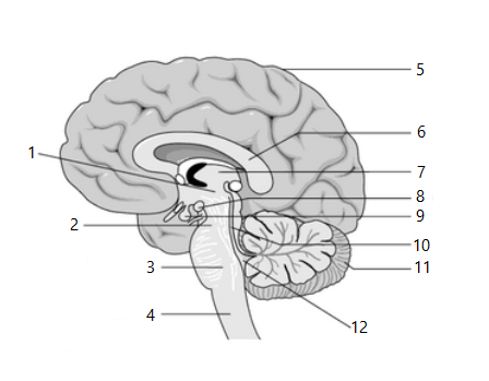 the sagittal view of the human brain